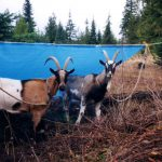 high-lining-camp-goats